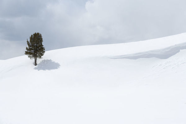 Yellowstone National Park, Lamar Valley. A lone trees standing out in the snowy landscape