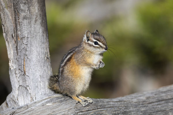 Yellowstone National Park, portrait of a chipmunk