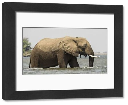Africa, Zambia. Elephant in Zambezi River. Credit as: Bill Young / Jaynes Gallery / DanitaDelimont.com