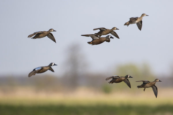 Blue-winged Teal (Anas discors) in flight, Marion County, Illinois