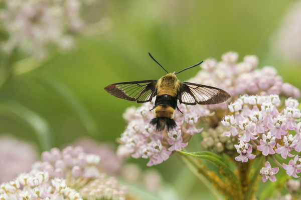Snowberry Clearwing (Hemaris diffinis) on Swamp Milkweed (Asclepias Incarnata) Marion County, Illinois