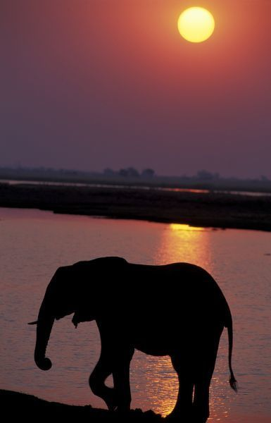 Africa, Botswana, Chobe National Park, Chobe River. Elephant (Loxodonta africana) silhouetted against river at sunset