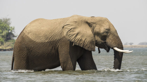 Africa, Zambia. Elephant in Zambezi River. Credit as: Bill Young / Jaynes Gallery / DanitaDelimont