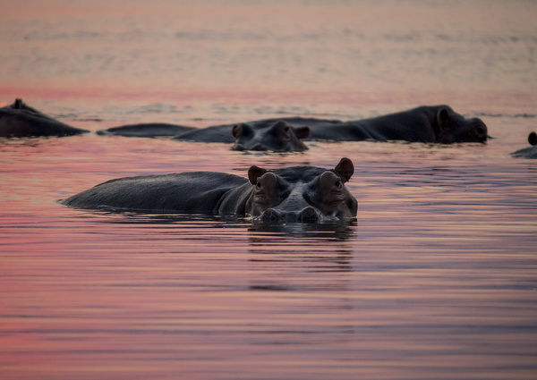 Africa, Zambia. Hippos in river at sunset. Credit as: Bill Young / Jaynes Gallery / DanitaDelimont.com
