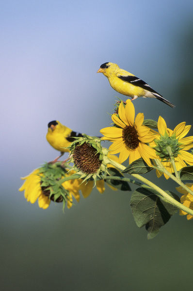 American Goldfinch male (Carduelis Tristis) on Common Sunflower (Helianthus annuus), IL