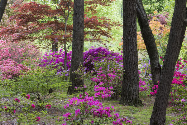 Azaleas and Japanese Maples at Azalea Path Arboretum & Botanical Gardens, Hazleton, Indiana