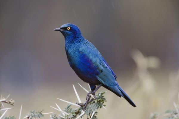 Blue-eared Glossy Starling, Lamprotornis chalybaeus, Lake Nakuru National Park, Kenya