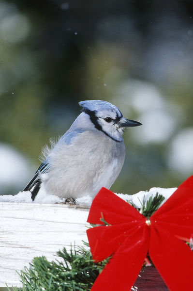 Blue Jay (Cyanocitta Cristata) on fence with red bow in winter, Marion County, Illinois