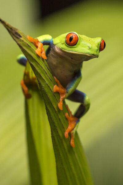 Central America, Costa Rica. Red-eyed tree frog close-up