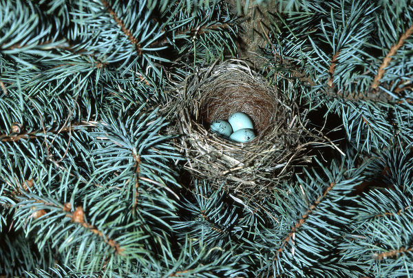 Chipping Sparrow (Spizella passerina) nest with three eggs Illinois