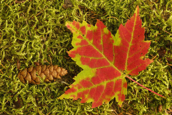 Close-up of maple leaf and pine cone on moss, Pictured Rocks National Lakeshore, Upper Peninsula of Michigan