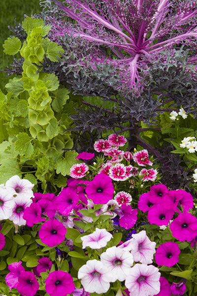 Container with petunias, dianthus, and lobelia, Cantigny Park at Wheaton, Illinois