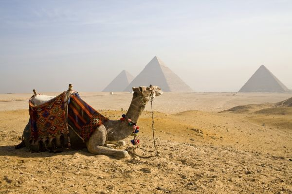 Egypt, Cairo. A lone camel gazes across the Giza Plateau outside Cairo, Egypt with its 5, 000-year-old pyramids built as necropolis tombs for deceased pharaohs