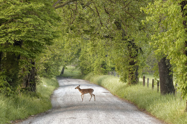 Female deer crossing Sparks Lane in morning, Cades Cove, Great Smoky Mountains National Park, Tennessee