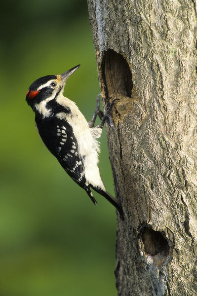 Hairy Woodpecker (Picoides Villosus) male at nest cavity, Marion County, Illinois