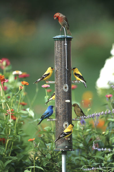 Indigo Bunting (Passerina Cyanea), American Goldfinches (Spinus Tristis) and a House finch (Carpodacus Mexicanus) on a thistle feeder, Marion County, Illinois