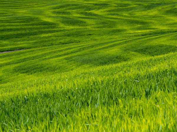 USA, Idaho, Palouse, Rolling Green Hills of Spring Wheat