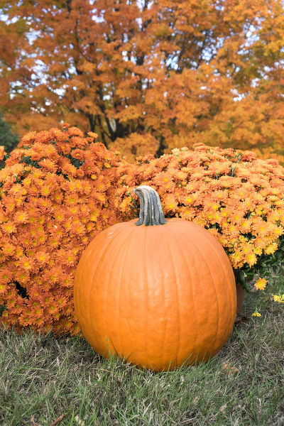 Pumpkin And Mums, Fall Foliage, Reading, Massachusetts, Usa