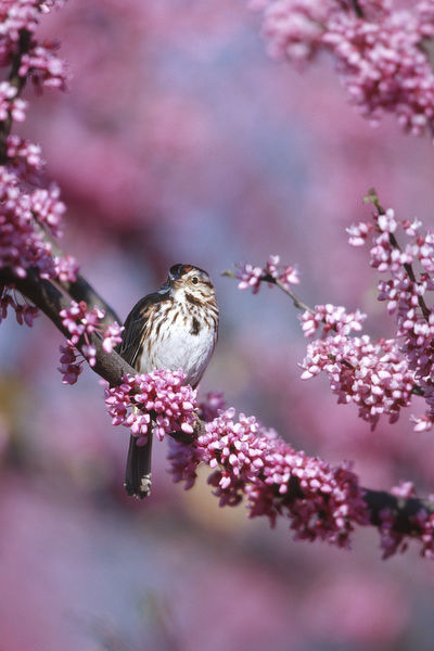 Song Sparrow (Melospiza Melodia) in Eastern Redbud tree (Cercis canadensis), Marion, IL