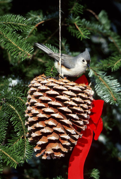 Tufted Titmouse (Baeolophus bicolor) on pine cone in winter, Marion County, Illinois