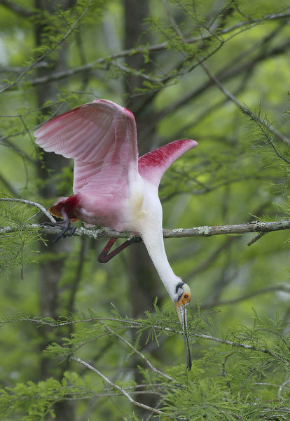 USA, Louisiana, Lake Martin. Roseate spoonbill stretches to break off branch for nesting material. Credit as: Arthur Morris / Jaynes Gallery / DanitaDelimont.com