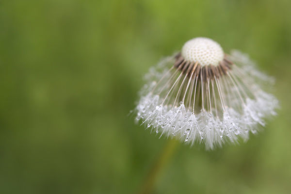 USA, Maine, Harpswell. Dew on dandelion. Credit as: Kathleen Clemons / Jaynes Gallery / DanitaDelimont