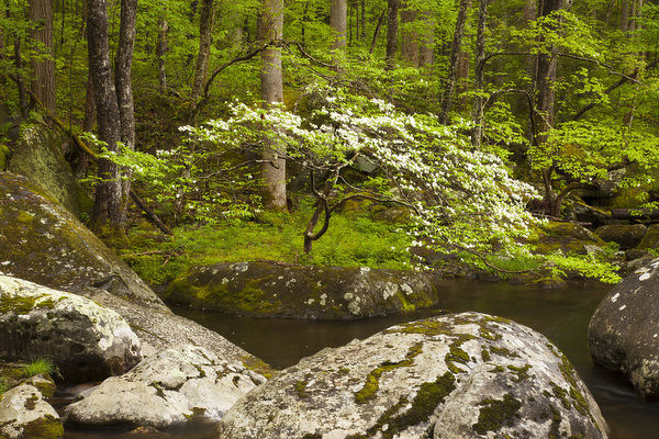 USA, Tennessee, Great Smoky Mountain National Park, Dogwood tree on the bank of the Little River at Tremont