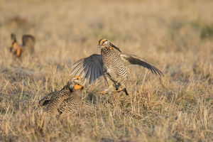 00842-05707 Greater Prairie-Chickens (Tympanuchus cupido) males fighting-territorial