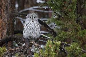 01128-00119 Great Gray Owl (Strix nebulosa) Yellowstone National Park, WY