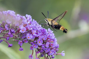 04005-00320 Snowberry Clearwing (Hemaris diffinis) on Butterfly Bush (Buddleja davidii)