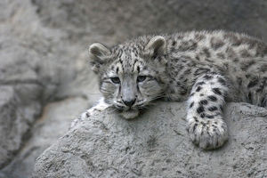 black white/4 month old snow leopard cub draped rock panthera