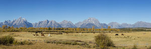 67545-09009 Horses and Grand Teton Mountain Range in fall, Grand Teton National Park, WY
