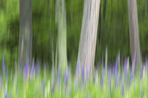 Abstract artistic blur of trees and lupine blossoms. USA, Wisconsin