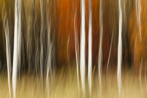 Abstract impression of birch trees in Autumn foliage, Wisconsin