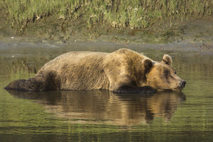 Adult coastal grizzly bear (ursus arctos)