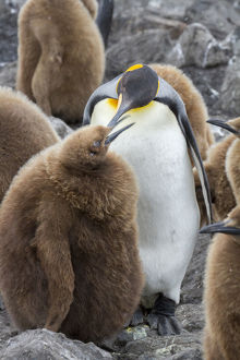 Adult King penguin with Chick. St. Andrews Bay, South Georgia Islands