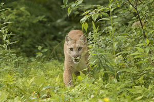 Adult Mountain Lion, Puma concolor (Controlled Situation) Minnesota