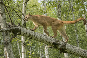 Adult Mountain Lion in tree, Puma concolor (Controlled Situation) Minnesota