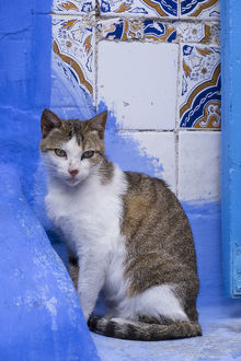 Africa, Morocco, Chefchaouen. A village cat sits against blue walls and tiles