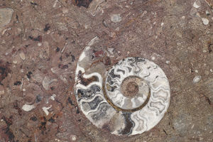 Africa, Morocco, Erfoud. Details of ammonites, and other fossils exposed on a cut