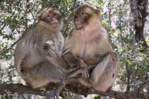 Africa, Morocco,. A pair of Barbary Apes, or Macaques, in the High Atlas Mountains