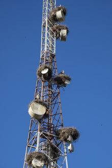 Africa, Morocco. Stork nests on communication tower