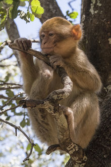Africa, Morocco. A young Barbary Ape, or Macaque, in the High Atlas Mountains