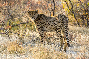 Africa, Namibia, Etosha National Park, Cheetah Looking Around Before Going into the Bush
