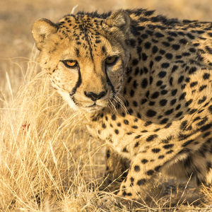Africa, Namibia, Keetmanshoop. Cheetah at the Quiver tree Forest Rest Camp