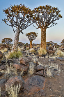 Africa, Namibia, Keetmanshoop. Quiver tree Forest at the Quiver tree Forest Rest Camp