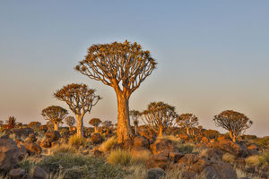 Africa, Namibia, Keetmanshoop, Quiver tree Forest at the Quiver tree Forest Rest Camp