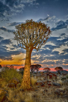 Africa, Namibia, Keetmanshoop. Sunset in the Quiver tree Forest at the Quiver tree