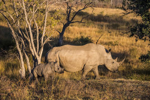 Africa, South Africa, Welgevonden Game Reserve. Adult and baby white rhinos. Credit as