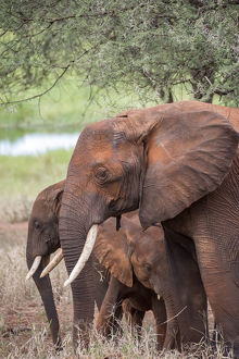 Africa, Tanzania. Adult and juvenile elephants
